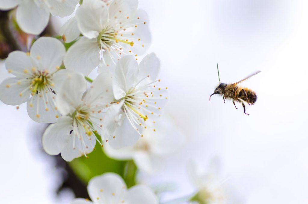 abeille-fleurs-blanches