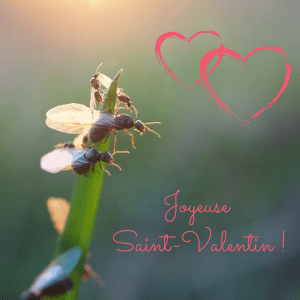 La Saint-Valentin chez les fourmis