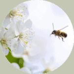 animation-insecte-abeille-fleur-pollinisateurs