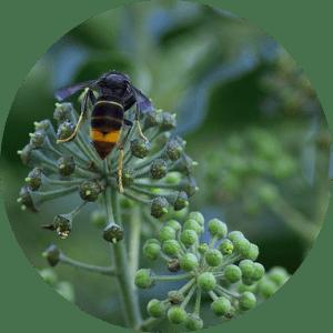 insecte-invasif-frelon-lutte-pédagogie