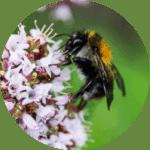 insectes-pollinisateurs-bourdons-abeilles