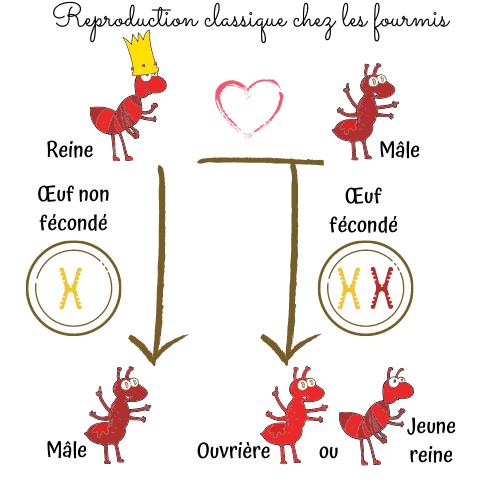 saint-valentin-fourmis-reproduction