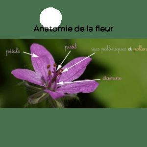 role-insectes-pollinisation-anatomie-fleur