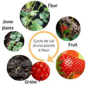 role-insectes-pollinisation-cycle-plante